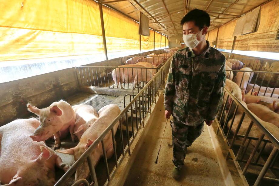 коронавирусы свиней